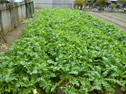 わが家の家庭菜園大根畑