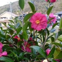 わが家の庭に咲く山茶花の花