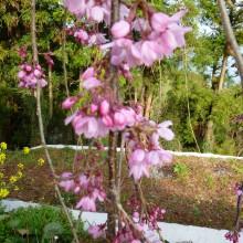 咲き始めた枝垂桜