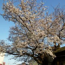 上灘駅前の桜