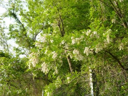 白い房状の花を付けたニセアカシア