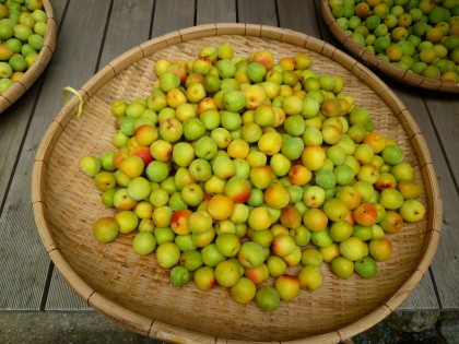 無農薬の綺麗な梅の実