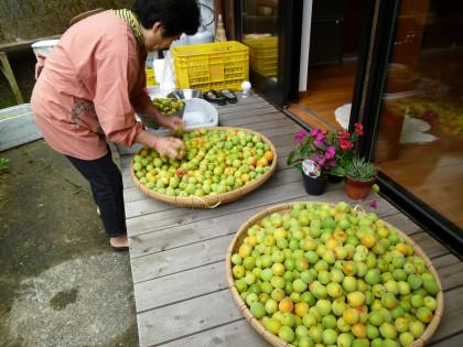 梅の実の加工をする妻
