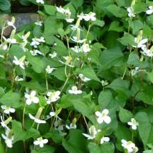 裏庭に咲くジュウヤクの花