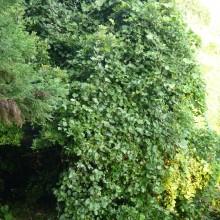 サンキラの葉がまとわりついた木