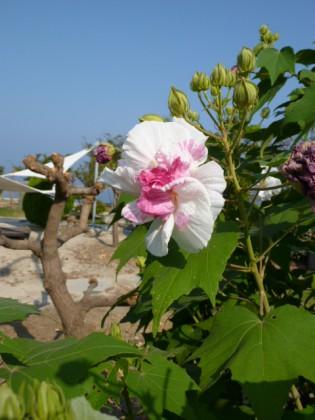 昼ピンクになった花