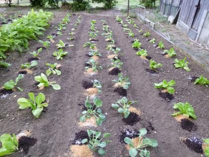 綺麗に植えた冬野菜の苗