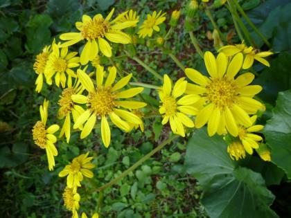黄色く可憐なツワブキの花