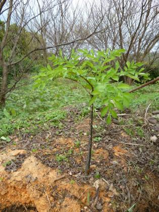 季節はずれの青々としたコンニャク芋の葉と茎