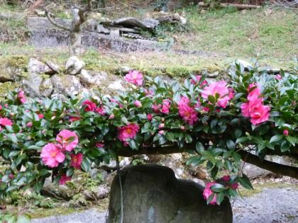 裏庭の山茶花