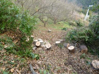 沢山できた梅林に置かれた割り木用のクヌギの輪切り