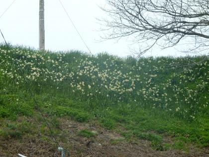 JR予讃線沿いに咲く水仙の花