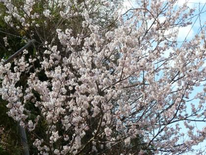 満開のサクランボの花