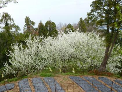 真っ白いプラムの花