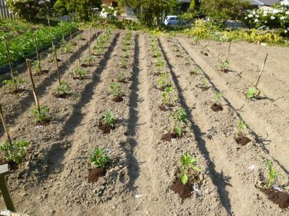 綺麗に植わった野菜苗