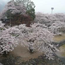 思い出に残る名残の桜