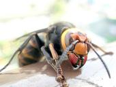 孫希心が刺されたスズメバチ