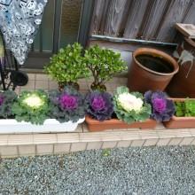 飾られた玄関先右の葉牡丹