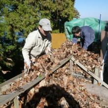 苗床へ落ち葉を移す作業