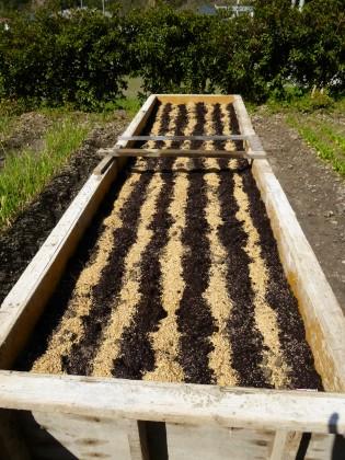 種蒔きと施肥の終ったゴボウ苗床