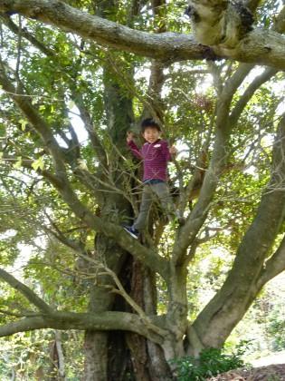 大きな樹齢100年を越すヤマモモの木に登ってご満悦の孫尚樹