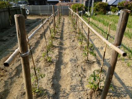 息子の協力で立派にできたトマトの垣