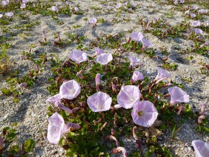 灘町海岸に群生して咲く浜昼顔の花