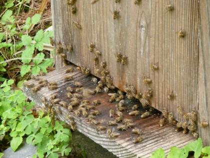 屋外の気温が30度を超え、暑いのか巣箱の入り口でたむろする蜜蜂たち