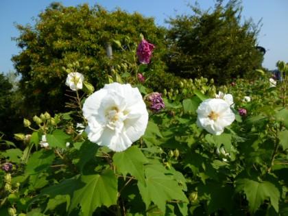 朝咲く白い花