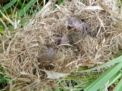 小鳥の巣の中ではネズミ赤ちゃんが6匹育っていました
