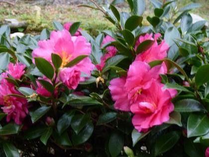 満開の山茶花の花