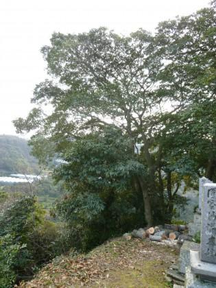 日本のクヌギの木を切って明るくなった東側