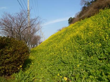 咲き始めた閏住の菜の花